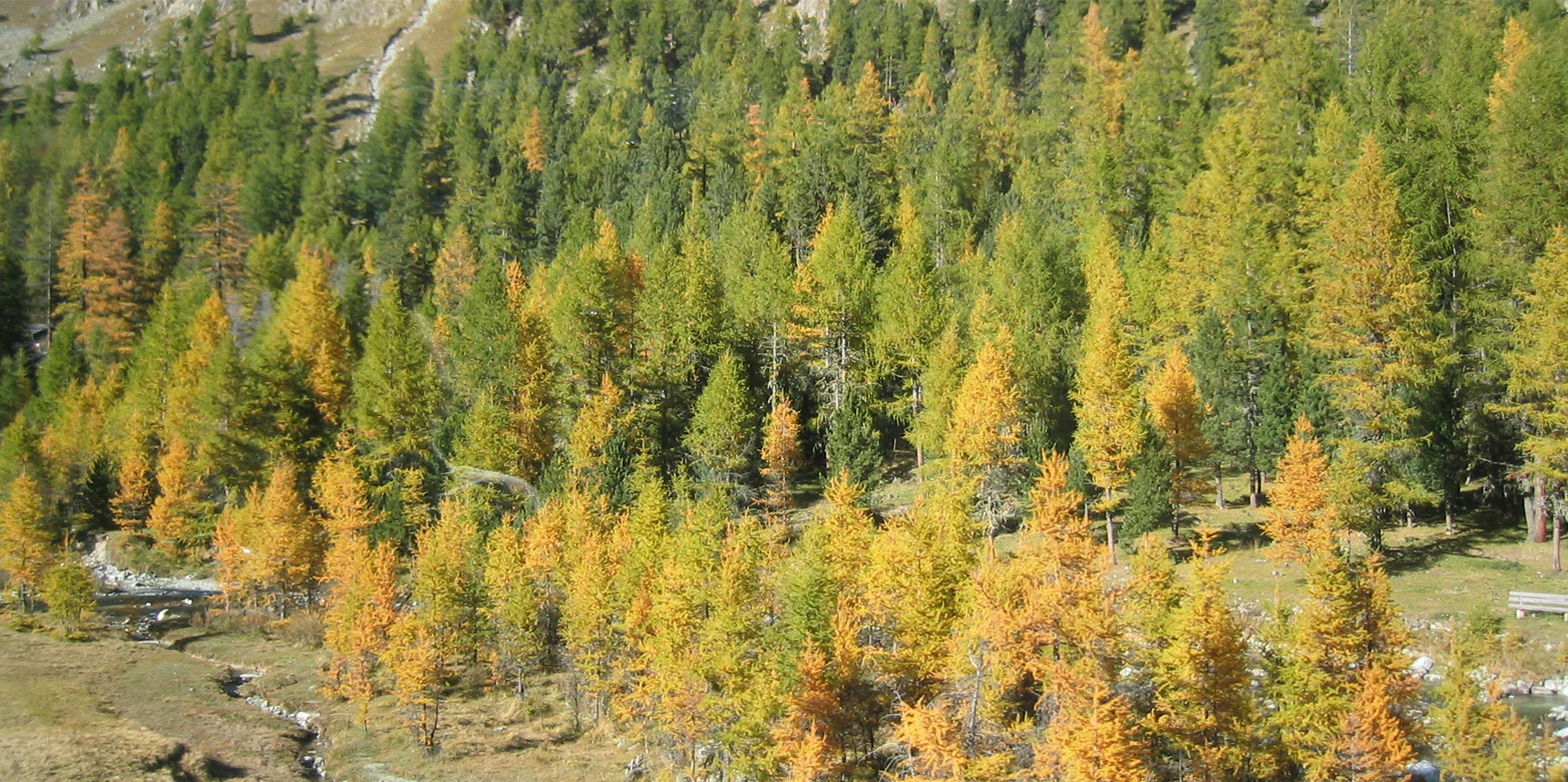 Boreal larch forest
